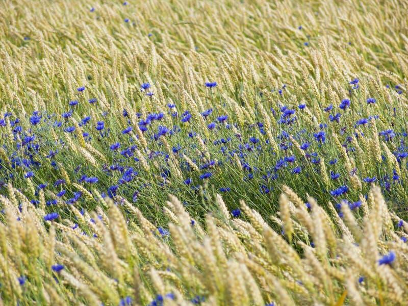 σίτος cornflowers στοκ φωτογραφία με δικαίωμα ελεύθερης χρήσης