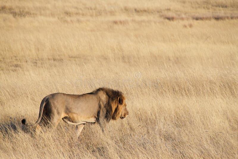 σαβάνα λιονταριών στοκ εικόνες