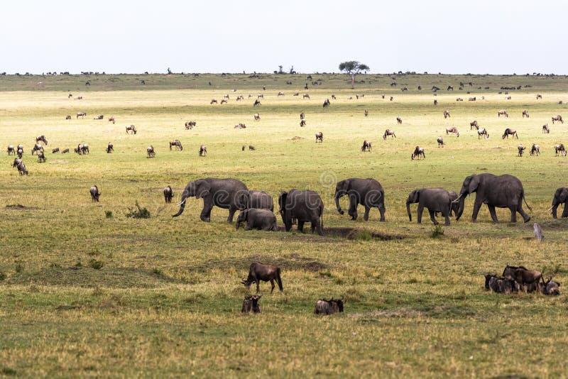 Σαβάνα με τα μεγάλα και μικρά herbivores Ελέφαντες και ο πιό wildebeest στη σαβάνα masai της Κένυας mara στοκ φωτογραφίες