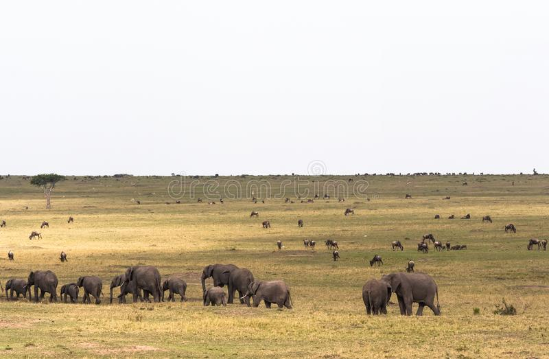 Σαβάνα με τα μεγάλα και μικρά herbivores Οικογένεια ελεφάντων στη σαβάνα masai της Κένυας mara στοκ εικόνα με δικαίωμα ελεύθερης χρήσης