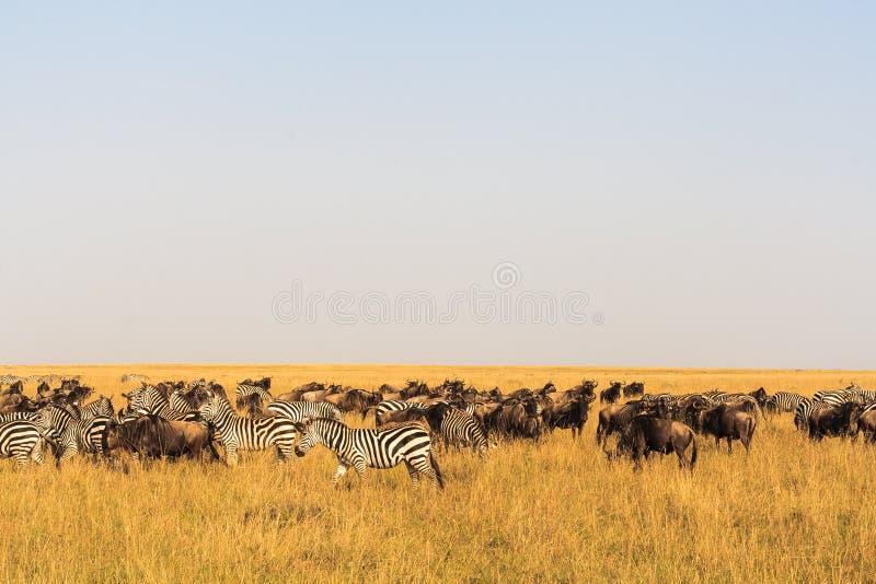 Σαβάνα herbivores μεγάλη μετανάστευση Κένυα στοκ φωτογραφία
