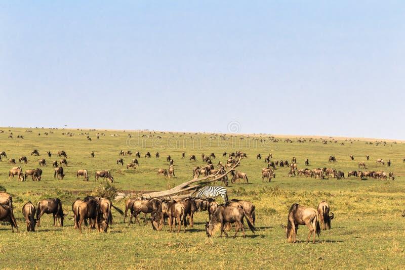 Σαβάνα herbivores μεγάλη μετανάστευση στοκ εικόνες με δικαίωμα ελεύθερης χρήσης