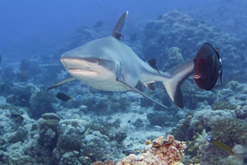 Σαγόνια γκρίζα καρχαριών έτοιμα να επιτεθούν στο υποβρύχιο στενό επάνω πορτρέτο στοκ φωτογραφία
