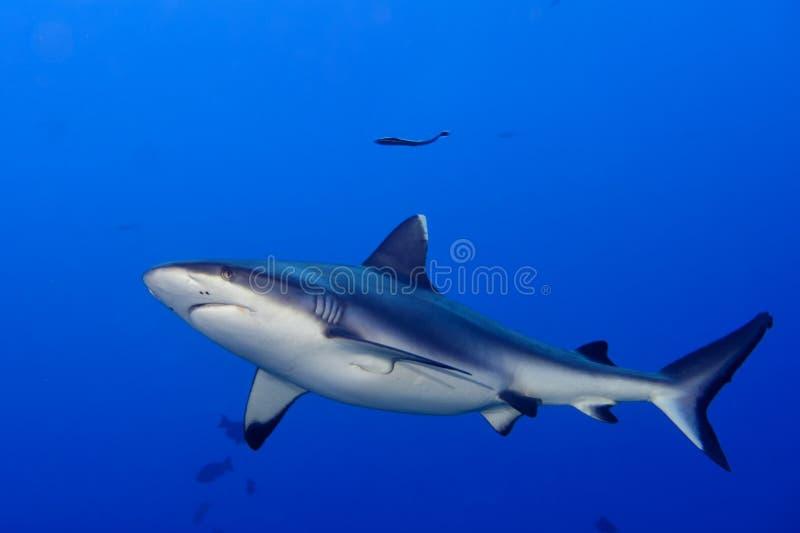 Σαγόνια γκρίζα καρχαριών έτοιμα να επιτεθούν στο υποβρύχιο στενό επάνω πορτρέτο στοκ εικόνα