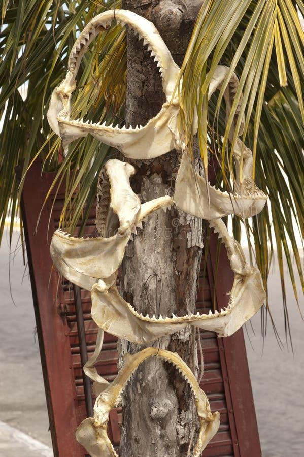Σαγόνια καρχαριών, Progreso, Μεξικό στοκ εικόνες με δικαίωμα ελεύθερης χρήσης