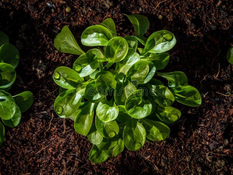 Σαλάτα καλαμποκιού ή μαρούλι αρνιών στο αυξημένο κρεβάτι κήπων στοκ εικόνες με δικαίωμα ελεύθερης χρήσης