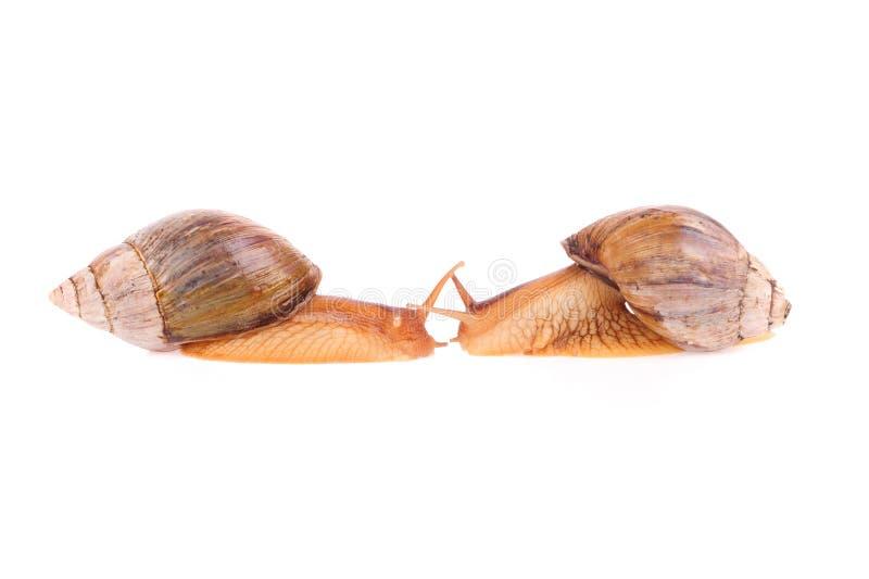 Σαλιγκάρια απομονωμένα στο λευκό φόντο στοκ εικόνες