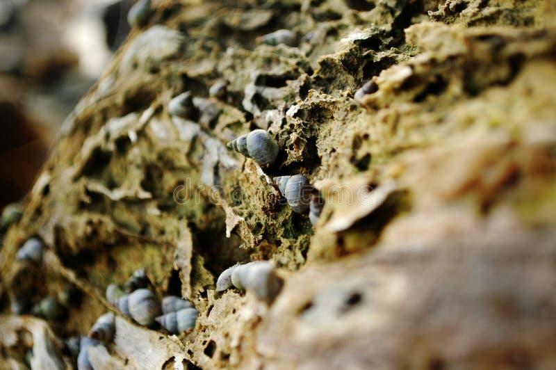 Σαλιγκάρια θάλασσας σε έναν αποσυντιθειμένος κορμό δέντρων στοκ φωτογραφία με δικαίωμα ελεύθερης χρήσης