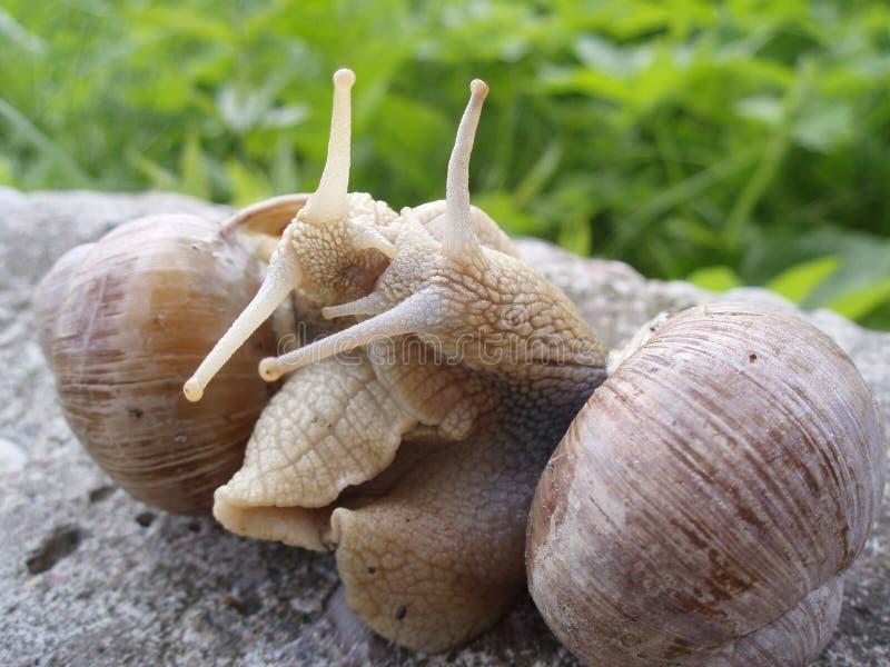 σαλιγκάρια στοκ εικόνες
