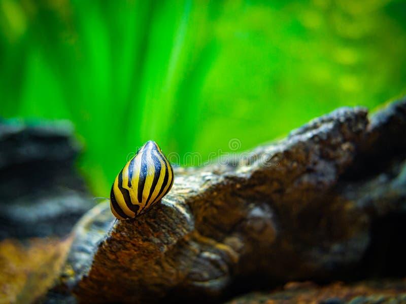 Σαλιγκάρι με κηλίδες Νεριτίνα ναταλένση που τρώει σε πέτρα σε δεξαμενή ψαριών στοκ εικόνες