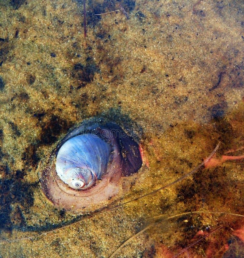 Σαλιγκάρι φεγγαριών που κινείται κατά μήκος του κατώτατου σημείου της παλιρροιακής λίμνης στοκ φωτογραφία με δικαίωμα ελεύθερης χρήσης