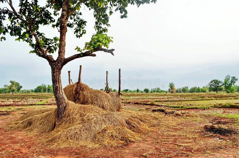 Σανός για τη φωλιά ζωικού κεφαλαίου στους τομείς ρυζιού στην αγροτική επαρχία Sakon Nakhon στη βόρεια Ταϊλάνδη στοκ φωτογραφίες με δικαίωμα ελεύθερης χρήσης