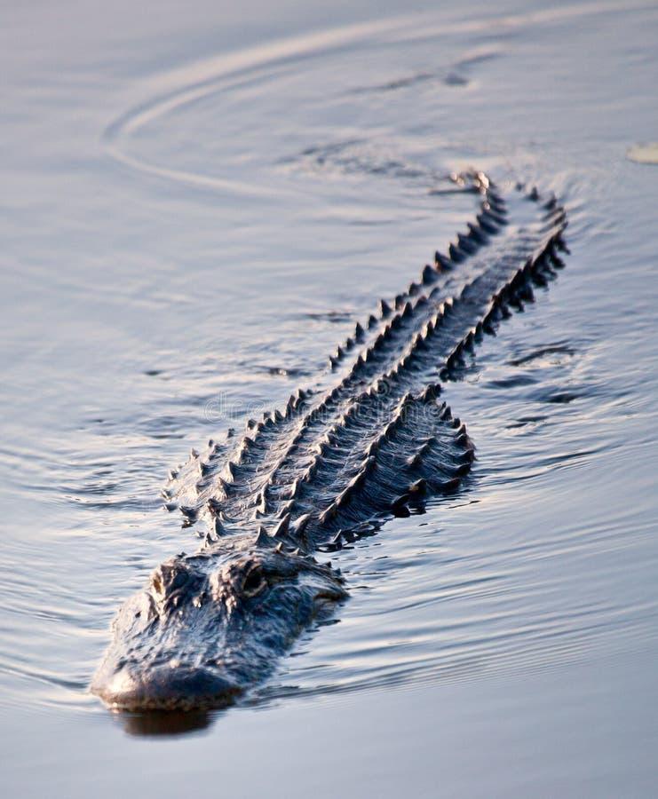 σαν αλλιγάτορας κολύμβηση 2 στοκ φωτογραφίες