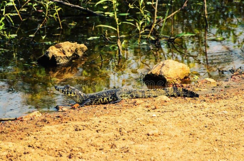 Σαν αλλιγάτορας cub στην ακτή λιμνών μιας περιοχής υγρότοπου σε Pantanal, στοκ φωτογραφίες με δικαίωμα ελεύθερης χρήσης