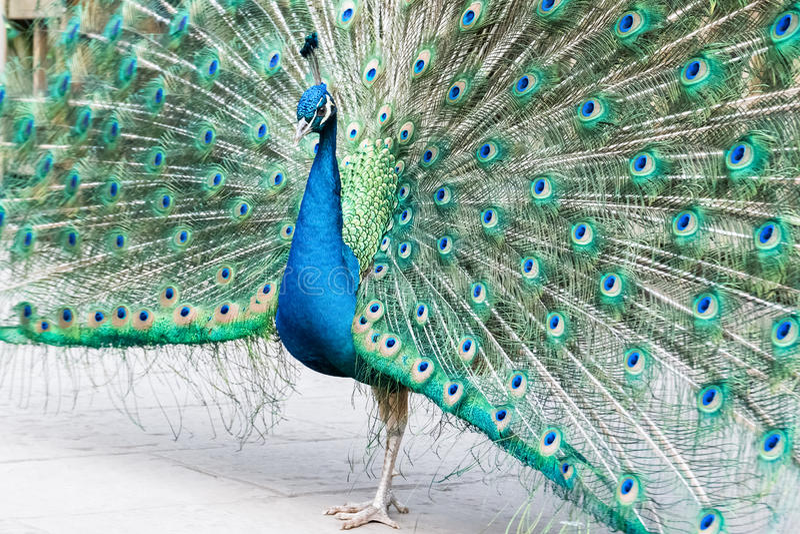 σαν peacock υπερήφανο στοκ εικόνα με δικαίωμα ελεύθερης χρήσης