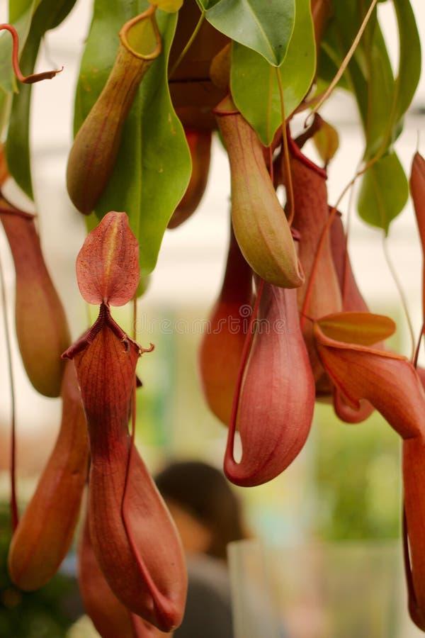 σαρκοφάγο φυτό στοκ εικόνα