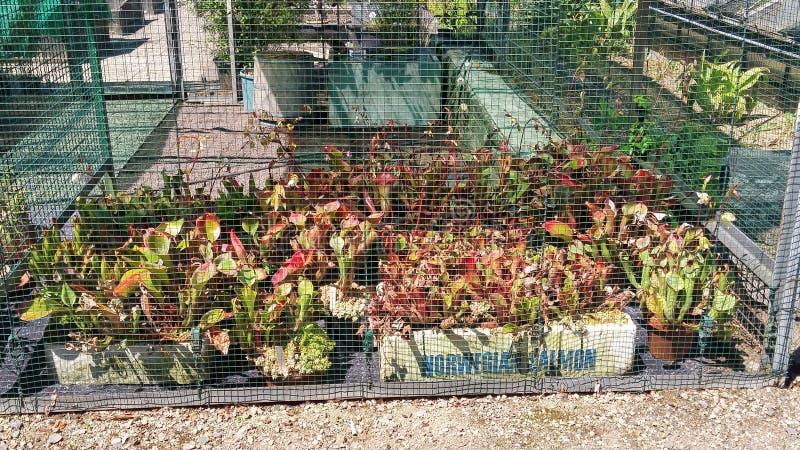 σαρκοφάγο φυτό στοκ εικόνες με δικαίωμα ελεύθερης χρήσης