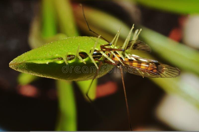 σαρκοφάγο φυτό dionaea στοκ εικόνα