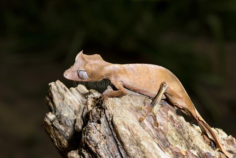 Σατανικό φύλλο-παρακολουθημένο gecko, marozevo στοκ φωτογραφία με δικαίωμα ελεύθερης χρήσης