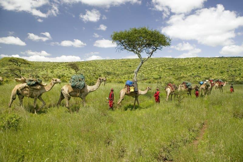 Σαφάρι καμηλών με τους πολεμιστές Masai που οδηγούν τις καμήλες μέσω των πράσινων λιβαδιών της συντήρησης άγριας φύσης Lewa, βόρε στοκ εικόνες με δικαίωμα ελεύθερης χρήσης