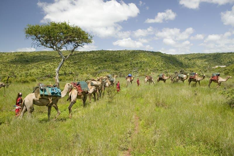 Σαφάρι καμηλών με τους πολεμιστές Masai που οδηγούν τις καμήλες μέσω των πράσινων λιβαδιών της συντήρησης άγριας φύσης Lewa, βόρε στοκ φωτογραφία με δικαίωμα ελεύθερης χρήσης