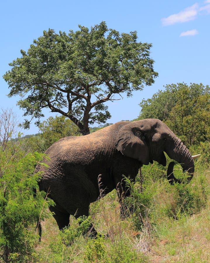 Σαφάρι στο εθνικό πάρκο Kruger στοκ εικόνες