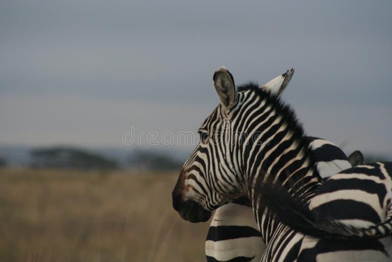Σαφάρι της Κένυας στοκ εικόνες με δικαίωμα ελεύθερης χρήσης
