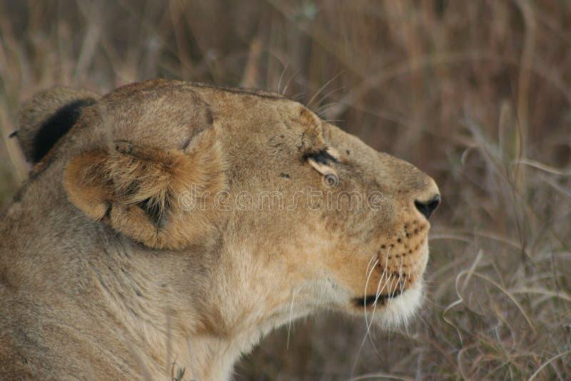 Σαφάρι της Κένυας στοκ φωτογραφία με δικαίωμα ελεύθερης χρήσης
