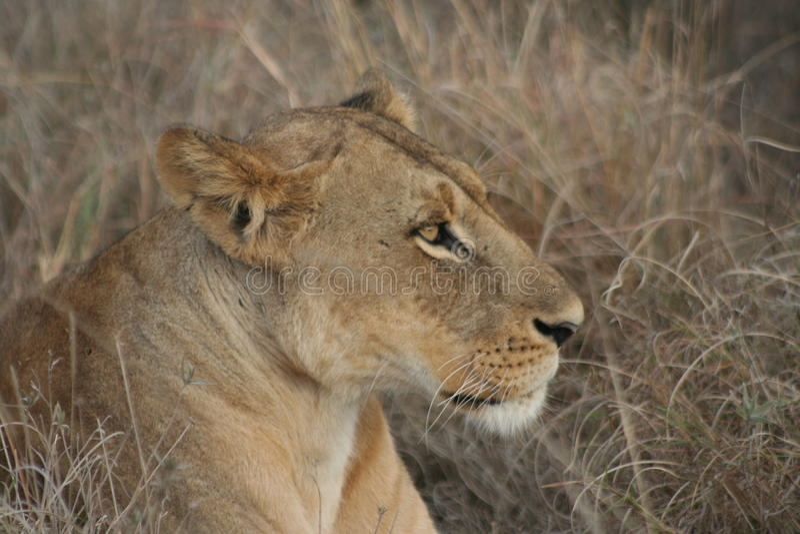 Σαφάρι της Κένυας στοκ εικόνα