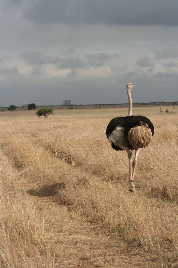 Σαφάρι της Κένυας στοκ φωτογραφίες με δικαίωμα ελεύθερης χρήσης