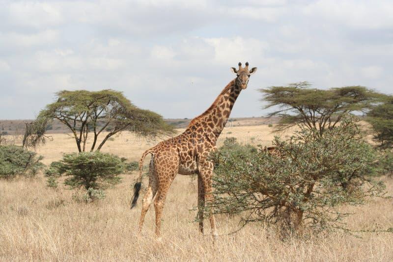 Σαφάρι της Κένυας στοκ εικόνες