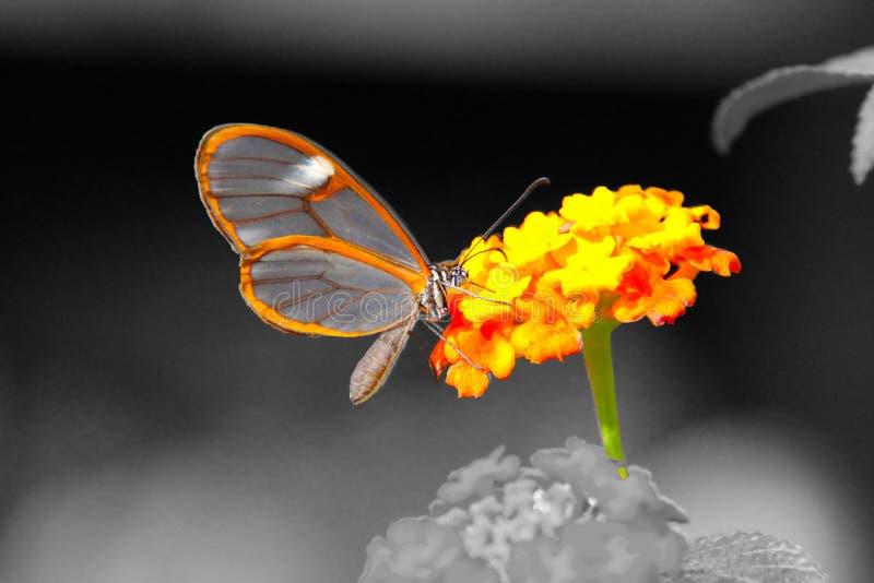 Σαφής πεταλούδα φτερών στο γραπτό υπόβαθρο στοκ εικόνες