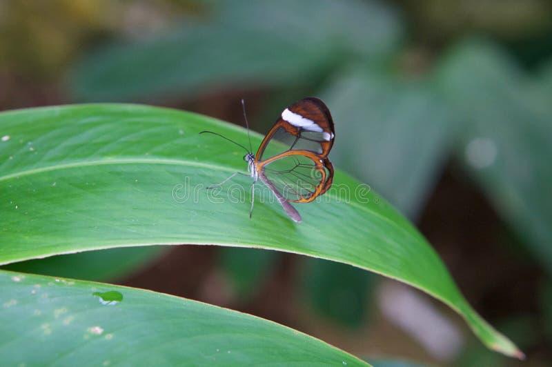 Σαφής πεταλούδα στοκ εικόνες με δικαίωμα ελεύθερης χρήσης