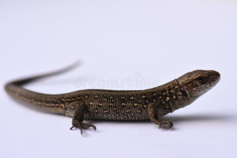 Σαύρα, αρπακτικό ζώο, κυνήγι, ερπετά, salamander, αγαθά δέρματος, κυνήγι, δέρμα προβλήματος, μεταβαλλόμενη εμφάνιση, αυξανόμενα μ στοκ φωτογραφίες με δικαίωμα ελεύθερης χρήσης