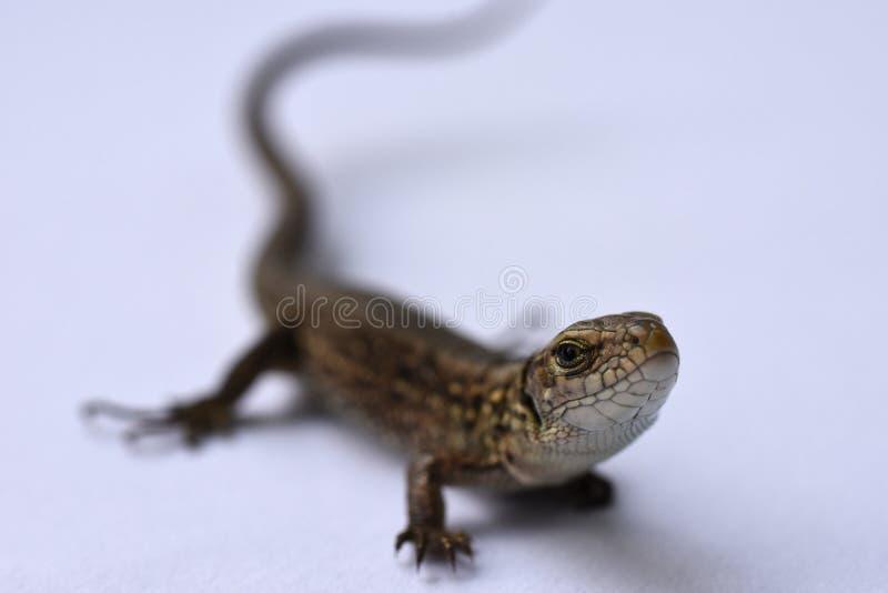 Σαύρα, αρπακτικό ζώο, κυνήγι, ερπετά, salamander, αγαθά δέρματος, κυνήγι, δέρμα προβλήματος, μεταβαλλόμενη εμφάνιση, αυξανόμενα μ στοκ φωτογραφίες