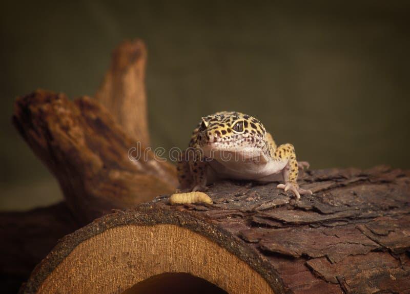 Σαύρα λεοπαρδάλεων Gecko με το γεύμα του στοκ εικόνα με δικαίωμα ελεύθερης χρήσης