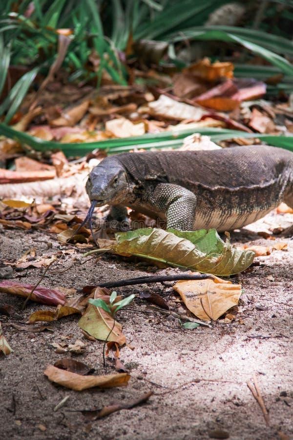 Σαύρα με την καρφωμένη με τη διχάλα γλώσσα που περπατά στη ζούγκλα στοκ φωτογραφία με δικαίωμα ελεύθερης χρήσης