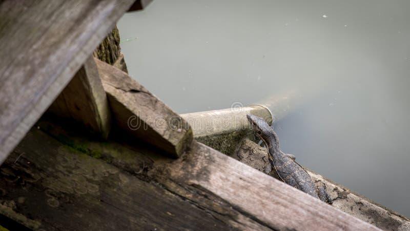 Σαύρα οργάνων ελέγχου μωρών στην ξύλινη αποβάθρα στο κανάλι στοκ εικόνα