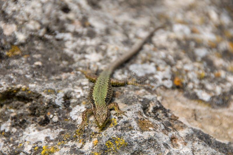 Σαύρα που σέρνεται στο βράχο wildlife Ζώα r στοκ φωτογραφίες