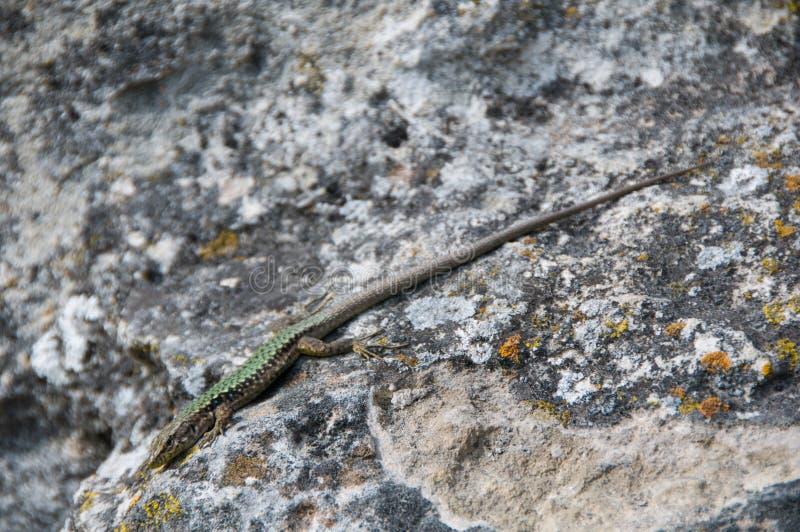 Σαύρα που σέρνεται στο βράχο wildlife Ζώα r στοκ εικόνα