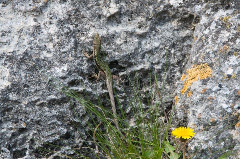 Σαύρα που σέρνεται στο βράχο wildlife Ζώα r στοκ εικόνα με δικαίωμα ελεύθερης χρήσης