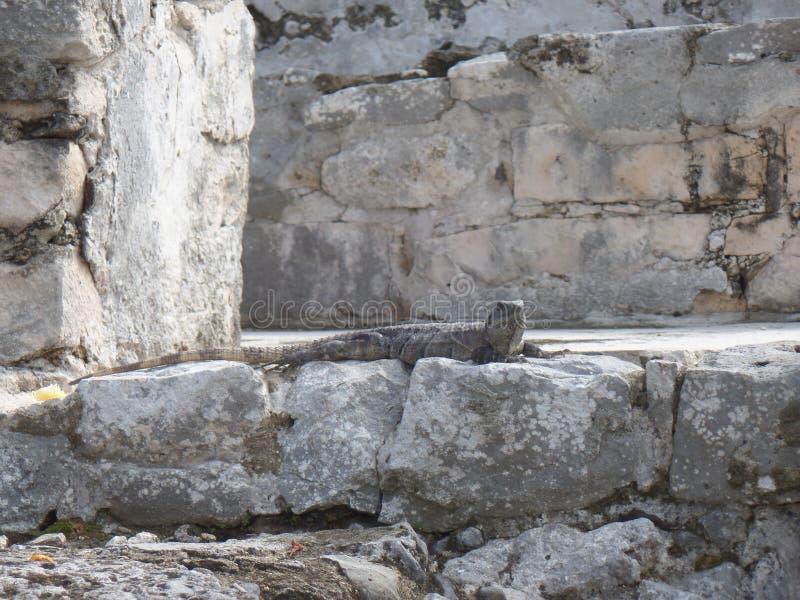 Σαύρα που φωτογραφίζεται σε Tulum Μεξικό στοκ εικόνες
