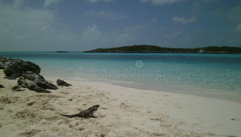 Σαύρα στην παραλία 2 στοκ εικόνα