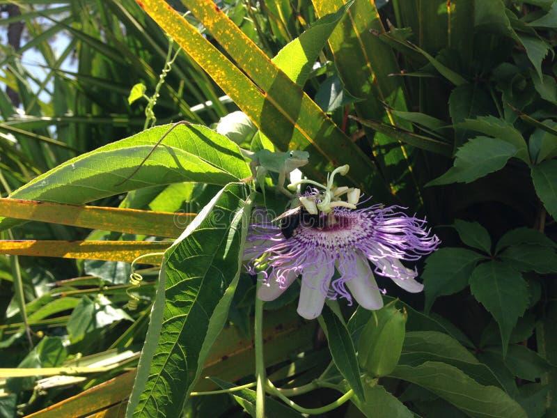 Σαύρα Carolinensis Anoles (πράσινο Anole) που τρώει Passiflora (λουλούδι πάθους) το άνθος εγκαταστάσεων στοκ φωτογραφίες