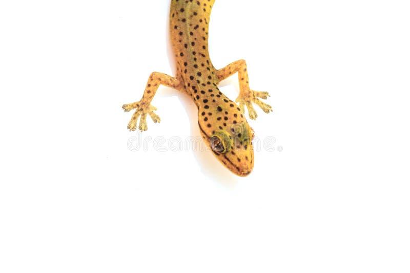 Σαύρα Gecko που απομονώνεται στο λευκό στοκ εικόνα