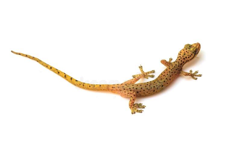 Σαύρα Gecko που απομονώνεται στο λευκό στοκ εικόνες με δικαίωμα ελεύθερης χρήσης