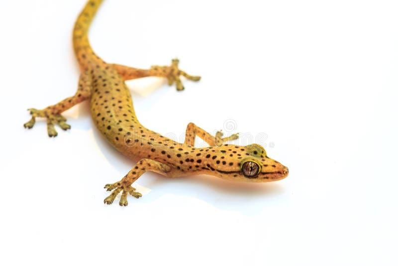 Σαύρα Gecko που απομονώνεται στο λευκό στοκ φωτογραφία με δικαίωμα ελεύθερης χρήσης