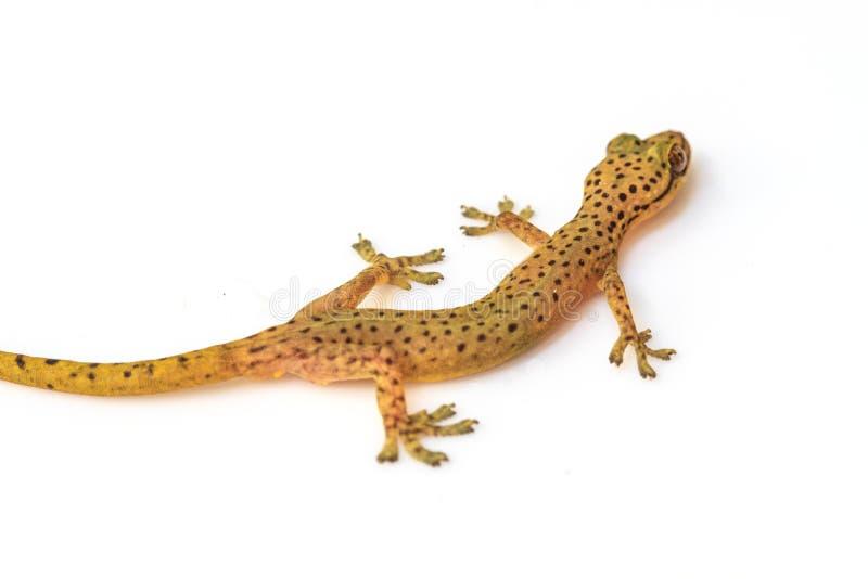 Σαύρα Gecko που απομονώνεται στο λευκό στοκ εικόνα με δικαίωμα ελεύθερης χρήσης