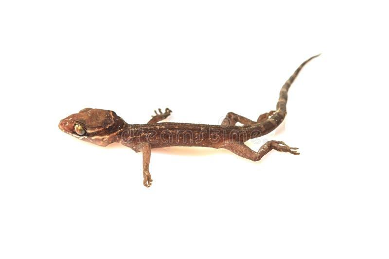 Σαύρα Gecko στο λευκό στοκ εικόνες με δικαίωμα ελεύθερης χρήσης