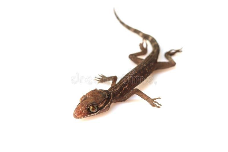 Σαύρα Gecko στο λευκό στοκ εικόνες